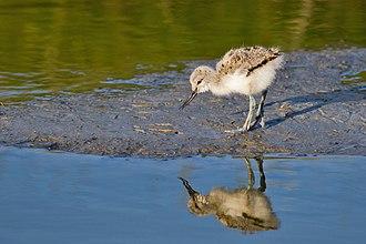 Пуховой птенец. Остров Тексел, Нидерланды