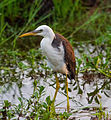 Pied Heron (Juvenile) - Fogg Dam - Middle Point - Northern Territory - Australia.jpg