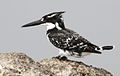 Pied Kingfisher, Ceryle rudis at Borakalalo National Park, South Africa (9822750966).jpg