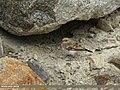 Pied Wheatear (Oenanthe pleschanka) (15893956721).jpg