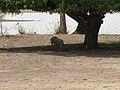 Pig under a tree near Gana, Burkina Faso, 2009.jpg