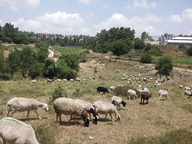 עיזים בחורבת בית עיטאב