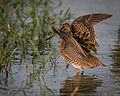 Pin-tailed Snipe.jpg