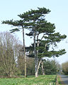 Pine Trees on the Staffordshire Way, near Wrottesley Hall - geograph.org.uk - 384159.jpg