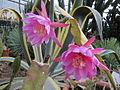 Pink Epiphyllum (5647227939).jpg