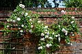 Pink climbing rose and trellis at Boreham, Essex, England.jpg