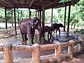 Pinnawala Elephant Orphanage 2012 - panoramio (4).jpg