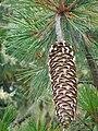 Pinus lambertiana cone.jpg