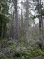 Pinus muricata Van Damme State Park.jpg