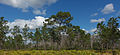 Pinus palustris Jay B Starkey Wilderness Park Florida 4.jpg