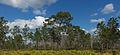 Pinus palustris Jay B Starkey Wilderness Park Florida 4.jpg