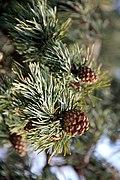 Pinus sylvestris (24852061431).jpg