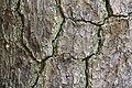 Pinus taeda CG NBG LR.jpg