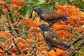 Pionus chalcopterus (Cotorra maicera) - Flickr - Alejandro Bayer (6).jpg