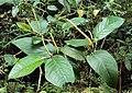 Piper colubrinum 14.JPG