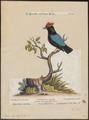 Pipra pareola - 1700-1880 - Print - Iconographia Zoologica - Special Collections University of Amsterdam - UBA01 IZ16600179.tif