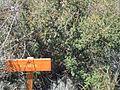 Piquillín en Parque Nacional Lihué Calel.jpg