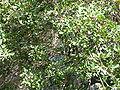 Pistacia lentiscus (2009).jpg