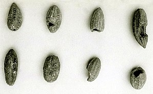 Balanites aegyptiaca - Fruits of Balanites aegyptiaca from Saqqara. Mastaba of Perneb, 5th dinasty of Egypt. MET.