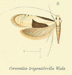 Pl.2-09-Ceromitia trigoniferella (Walsingham, 1881).JPG