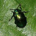 Plagiosterna aenea (Alder leaf beetle) - Flickr - S. Rae.jpg