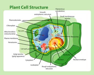 ภาพเซลล์พืชทั่วไป ที่แสดงส่วนประกอบย่อยของเซลล์ (ดูตาราง  2 แสดงการเปรียบเทียบระหว่างเซลล์พืชและเซลล์สัตว์)