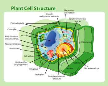 Schematic of typical plant cell (see table 2 for a comparison between plant and animal cells)