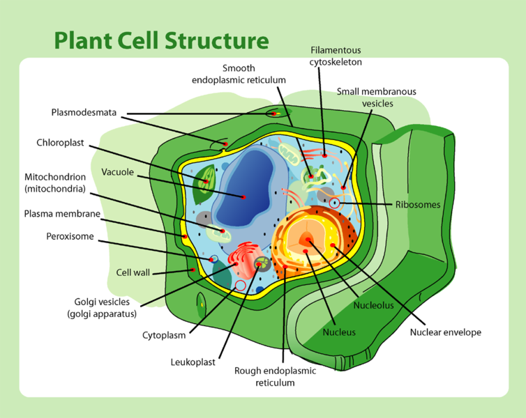 Eukaryotic Plant Cell Labeled File:plant cell structure.png