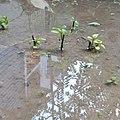 Plant in rain water .jpg
