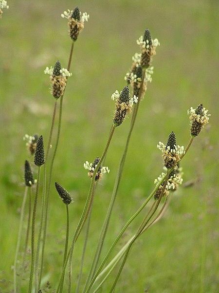 File:Plantago lanceolata P6200323 箆大葉子、ヘラオオバコ.jpg