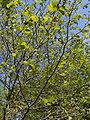 Platanus xhispanica.leaves(03).jpg