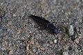 Platydracus inornatus (20488509405).jpg