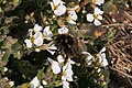 Pleney-Bombus-20140314.jpg