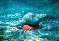 Pleuroploca gigantea.jpg