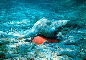 The Florida horse conch (Pleuroploca gigantea)...