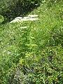 Pleurospermum austriacum001.jpg