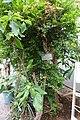 Plinia cauliflora (Myrciaria cauliflora) - Food and Agriculture Museum - Setagaya, Tokyo, Japan - DSC09836.jpg