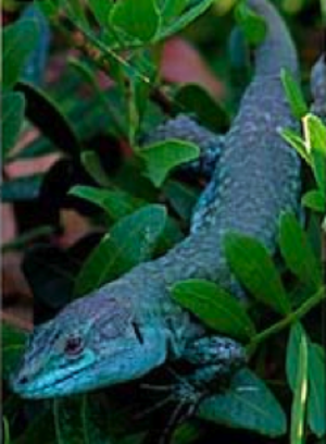 Italian wall lizard - Podarcis sicula klemmeri - a blue morph found exclusively on the small island of Licosa.