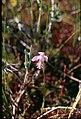 Pogonia ophioglossoides f albiflora 4-eheep (5097457767).jpg