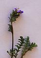 Polemonium pulcherrimum Flower leaf macro.jpg