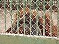 Pongo pygmaeus at Giza Zoo by Hatem Moushir 1.JPG