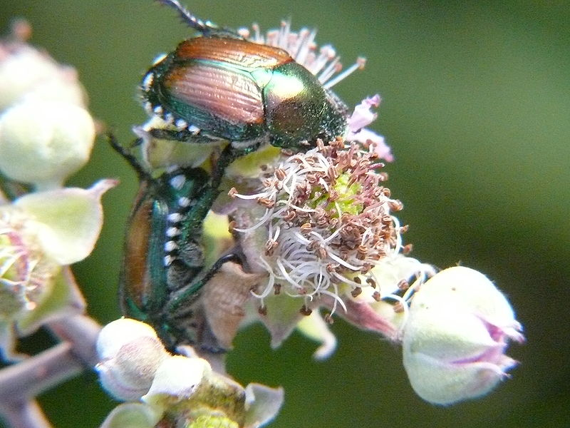 File:Popillia japonica eating on Rubus flowers.JPG