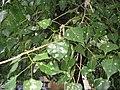 Poplar leaves with leafminer moth.jpg