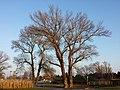 Populus nigra sl9.jpg
