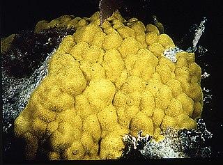 <i>Porites astreoides</i> species of cnidarian