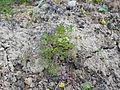 Portenschlagiella ramosissima 2017-04-20 8207.jpg