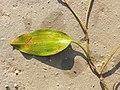Potamogeton nodosus sl49.jpg