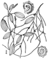 Potamogeton spirillus (as Potamogeton dimorphus) BB-1913.png