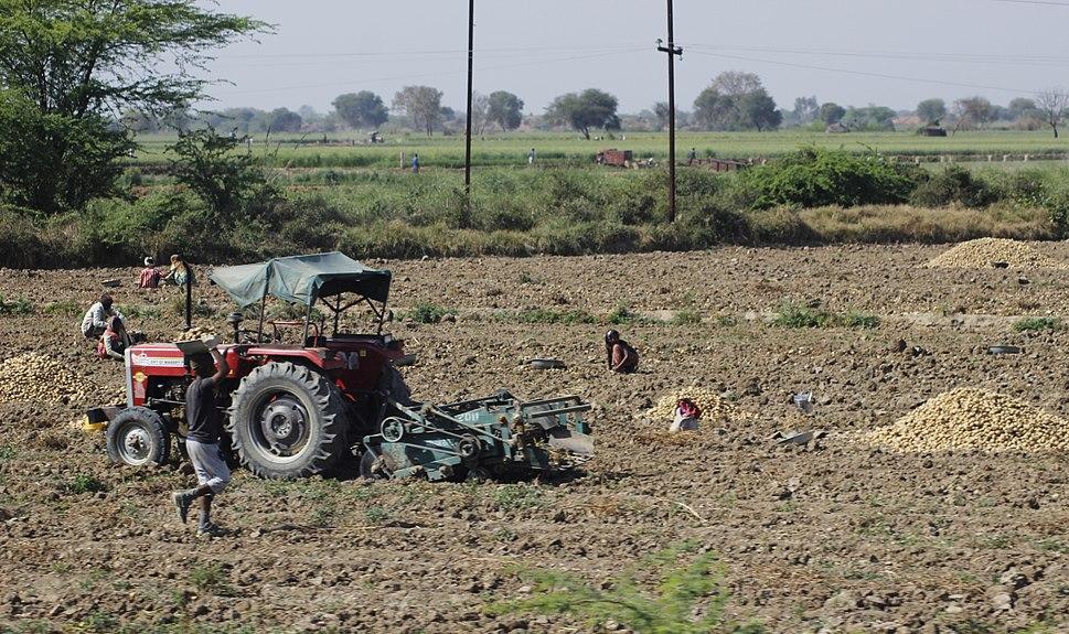 Potato farming in India