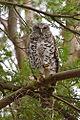 Powerful Owl (Ninox strenua) (8460185041).jpg